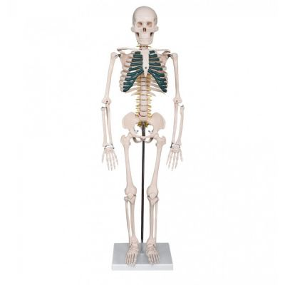 85 cm Anatomical Model 85cm Skeleton with Spinal Nerves �����������ģ��  85CM