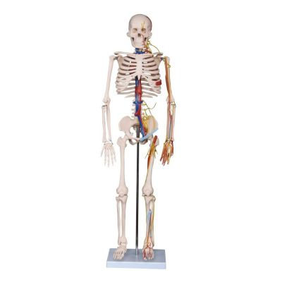 85cm Anatomical Model Skeleton with Nerves & Blood Vessels ����������񾭺�Ѫ��ģ��  85CM