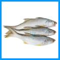 Threadfin / Senangin
