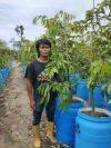 MUSANG KING YOUNG DURIAN PLANT (NURSERY)