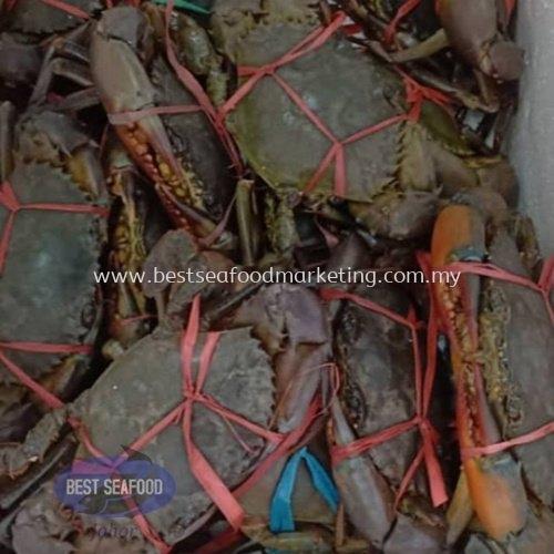 Mud Crab / 肉蟹 / Ketam Bakau (sold per pcs)