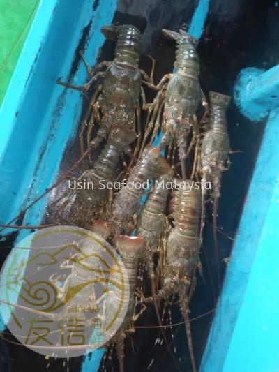 ÇàÁúϺ(Green Lobster)