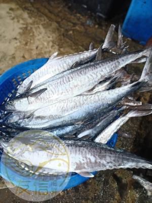 竹鲛鱼(Spanish Mackerel)