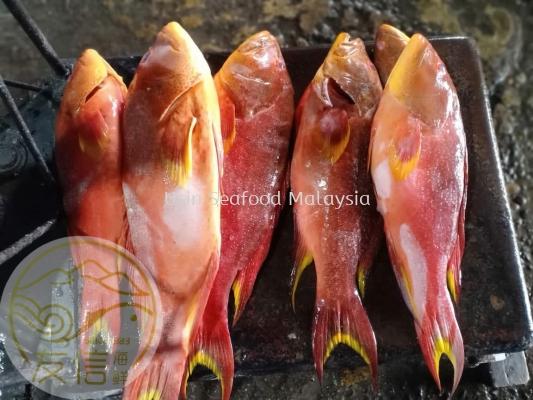 »ÆÀæ°ß(Ikan Nanas)
