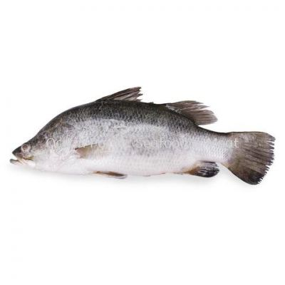 Seabass siakap��Whole Clean��600-800gm��pcs