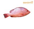 Red Snapper 800-1kg 三文鱼 & 海鲜 Salmon & Seafood