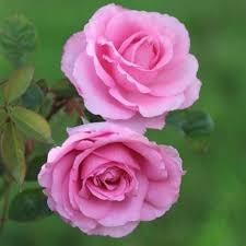 Rose Givco