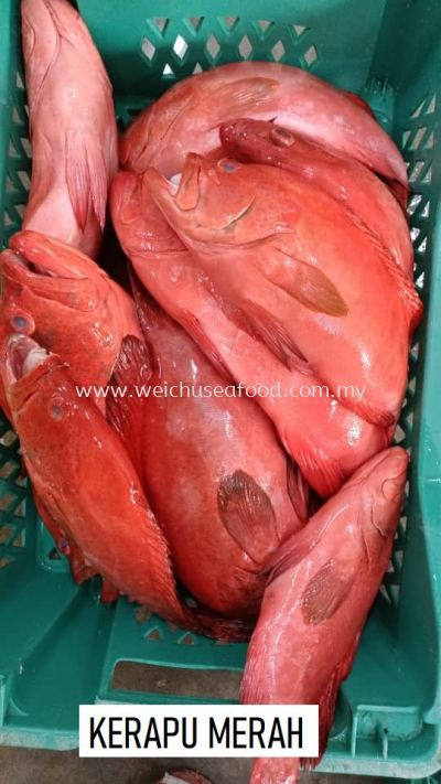 Ikan Kerapu Merah / Speckled Red Grouper
