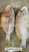 Ikan Bulbberlip Snapper Others