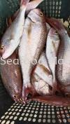 红加力 红加力 Fresh Seafood (冰鲜海鲜)