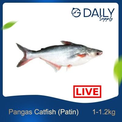 Pangas Catfish (Patin) - LIVE