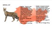 Serval Cat Petting Zoo