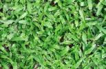 Cow grass/Axonopus compressus Turf - Real