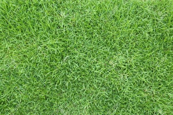 Japanese Grass / Carpet Grass