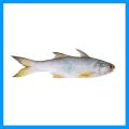 Four Finger Threadfin Fish