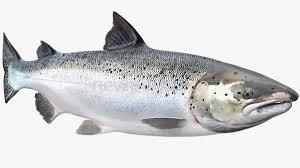 Selmon fish