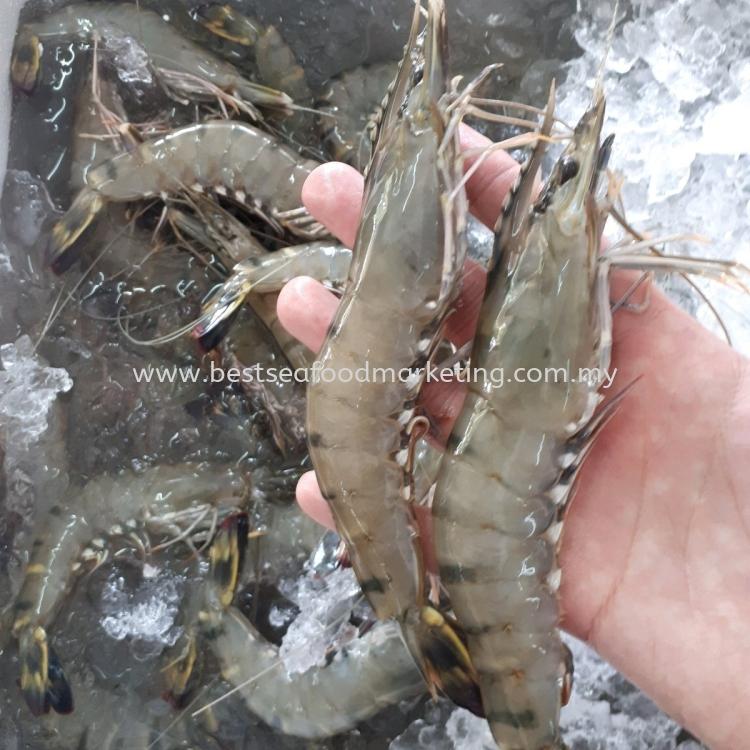 Tiger Prawn / 老虎虾 / Udang Harimau 1kg