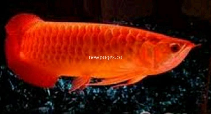 fish 20cm