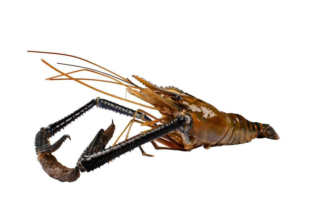 Fresh Water Prawn (Scampi)
