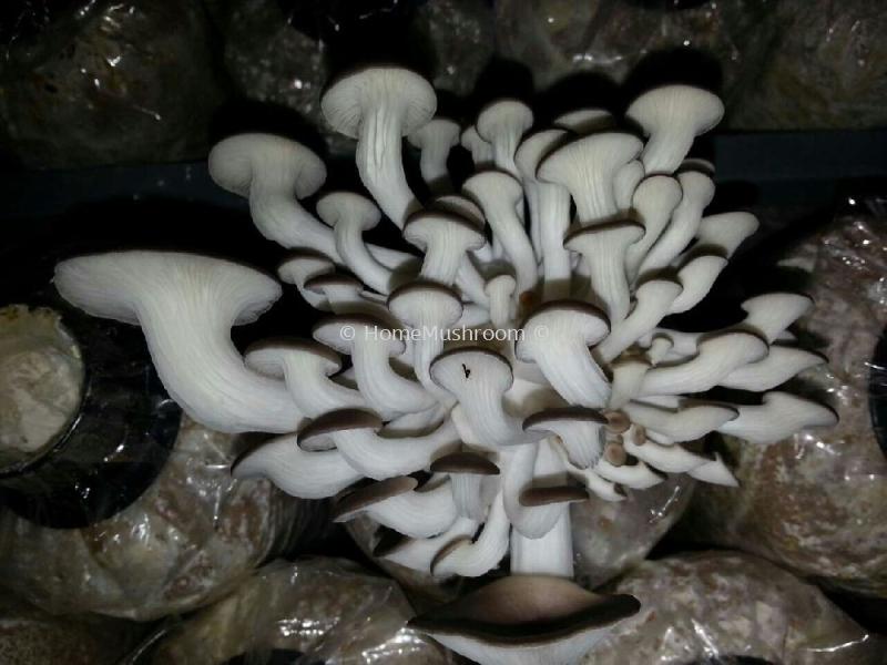 Oyster Mushroom Oyster Mushroom Kluang, Johor, Malaysia Supplier, Suppliers, Supplies, Supply | Home Mushroom