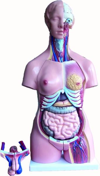 人体解剖模型 ( 83cm ) 人体解剖模型 医用模型 Malaysia, 马来西亚, Selangor, 雪兰莪, Kuala Lumpur (KL), 吉隆坡. Supplier, 供应商, Supply, 供应, Supplies | UNHA Corporation Sdn Bhd