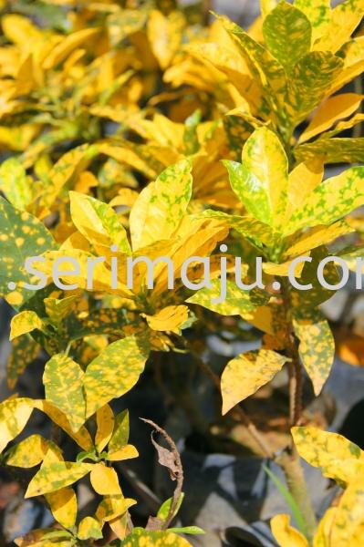 Codiaeum Variegatum Cultivars (Green Yellow Round Leaf) Shrubs Malaysia, Johor, Muar Plants Wholesale, Wholesaler, Supplier, Supply | Tapak Semaian Seri Maju Sdn Bhd
