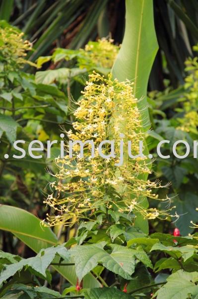 "Clerodendrum Paniculatum ""Alba"" Shrubs Malaysia, Johor, Muar Plants Wholesale, Wholesaler, Supplier, Supply | Tapak Semaian Seri Maju Sdn Bhd"