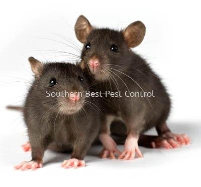 鼠害控制 / 捉老鼠服务  鼠害控制   Service | Southern Best Pest Control Sdn Bhd