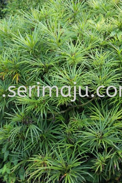 Osmoxylum Lineare Shrubs Malaysia, Johor, Muar Plants Wholesale, Wholesaler, Supplier, Supply | Tapak Semaian Seri Maju Sdn Bhd