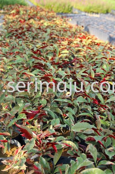 Excoecaria Cochinchinensis Variegated Shrubs Muar, Johor, Malaysia. Nursery, Supplier, Supplies, Supply | Tapak Semaian Seri Maju Sdn Bhd