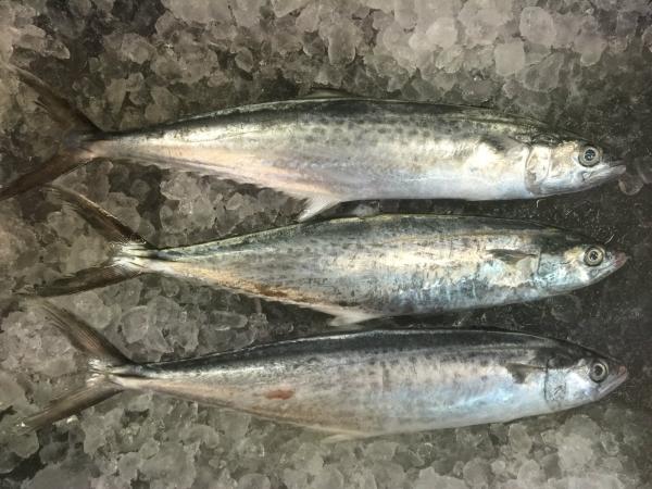 马交鱼 鱼类   Wholesaler, Supplier, Supply, Retailer | Hai Kiah Fishery