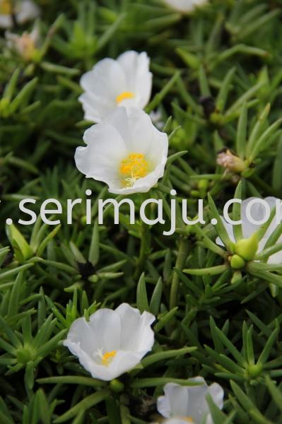 "Portulaca Grandiflora Cultivars ""White"" Shrubs Muar, Johor, Malaysia. Nursery, Supplier, Supplies, Supply | Tapak Semaian Seri Maju Sdn Bhd"