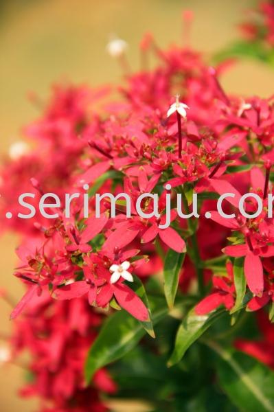 Carphalea Kirondron Shrubs Malaysia, Johor, Muar Supplier, Supply, Wholesale, Wholesaler | Tapak Semaian Seri Maju Sdn Bhd