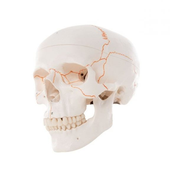 Numbered Human Classic Skull Model, 3 Part Human Skull Model Teaching Mould Product Selangor, Malaysia, Kuala Lumpur (KL), Puchong Supplier, Suppliers, Supply, Supplies | USE Electronics (M) Sdn Bhd