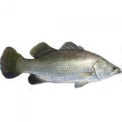 Barramundi Frozen Fish English Version Selangor, Malaysia, Kuala Lumpur (KL), Seri Kembangan Supplier, Supply, Wholesaler, Retailer   C H Seah Fishery