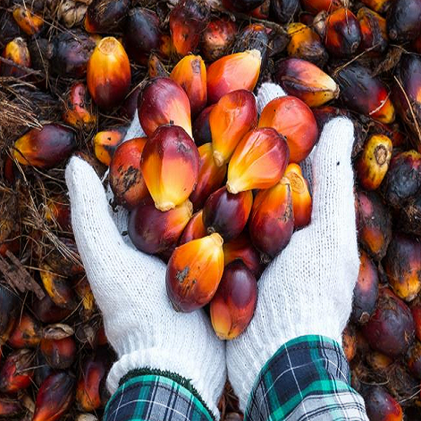 FGV's expected to increase palm oil price to RM2250/tonne M'sia News Malaysia News | SilkRoad Media