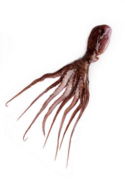 Octopus Raw Squid Kuala Lumpur (KL), Malaysia, Selangor, Kepong Supplier, Wholesaler, Supply, Supplies | Sunlight Pacific Sdn Bhd