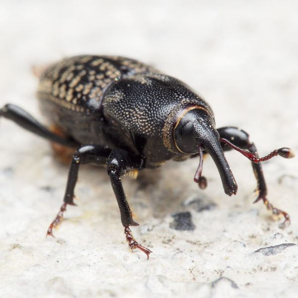 Weevils Control Weevil Control Johor Bahru (JB), Malaysia, Pasir Gudang Services, Specialists, Experts | Inspirasi Azimat Enterprise