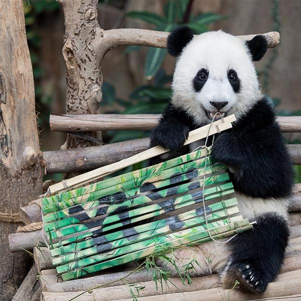 2nd giant panda cub named Yi Yi, marking close China-Malaysia friendship Others Malaysia News   SilkRoad Media