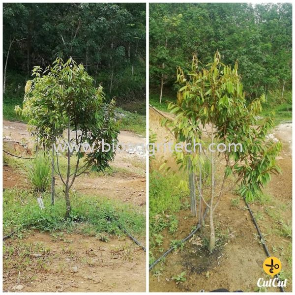 after and before Variety type of Tree Testimonial  Bio-S Fertilizer Testimonial   Johor, Malaysia, Tangkak Supplier, Suppliers, Supply, Supplies   Dina Gain Sdn Bhd