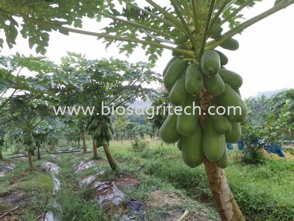 papaya  Testimonial after organic Fertilizer   used Papaya Testimonial  Bio-S Fertilizer Testimonial   Johor, Malaysia, Tangkak Supplier, Suppliers, Supply, Supplies | Dina Gain Sdn Bhd