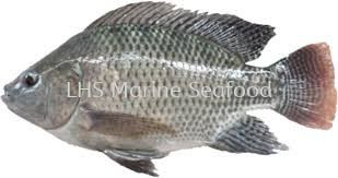 Ikan Talapia Hitam Whole Fish Johor Bahru (JB), Malaysia, Skudai Supplier, Suppliers, Supply, Supplies   Lean Hup Shun Marine Seafood Sdn Bhd