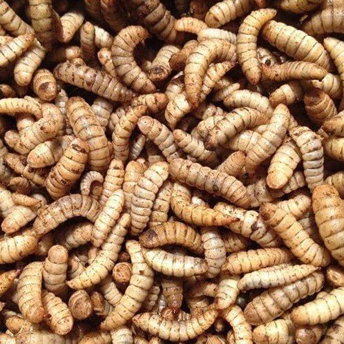 Larvae Others Malaysia, Selangor, Kuala Lumpur (KL), Puchong Supplier, Suppliers, Supply, Supplies | Ori Biotechnology Sdn Bhd