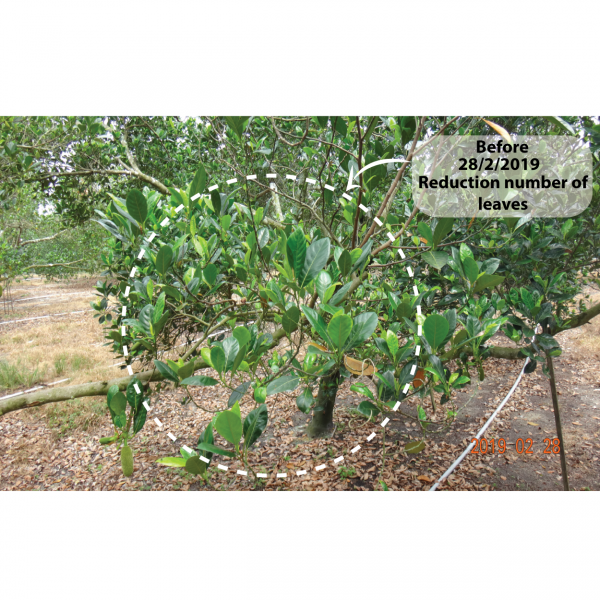 Before : Jackfruit (Reduction number of leaves) Field trial  Horizon Plant Protection Selangor, Malaysia, Kuala Lumpur (KL), Kajang Supplier, Suppliers, Supply, Supplies | Farmland Solutions Sdn Bhd