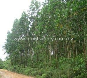 Acacia Mangium (Broad-leaved Acacia)