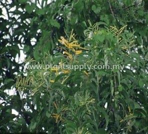 Acacia Auriculiformis (Yellow Acacia)