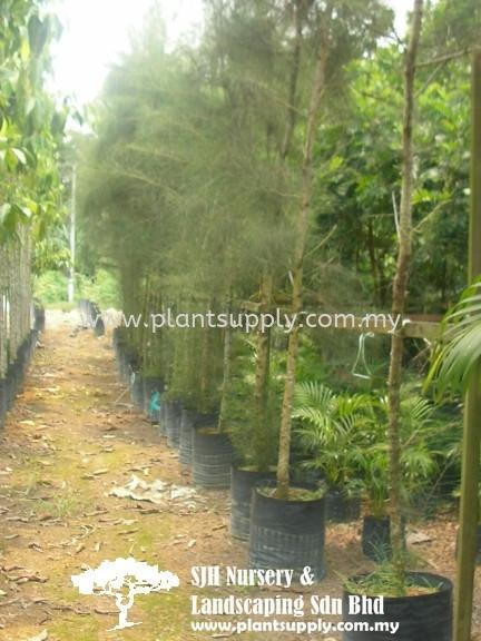 T010601 Casuarina Equisetifolia (Common Ru) Trees Malaysia, Johor, Muar Supplier, Wholesaler, Supply, Supplies | SJH Nursery & Landscaping Sdn Bhd