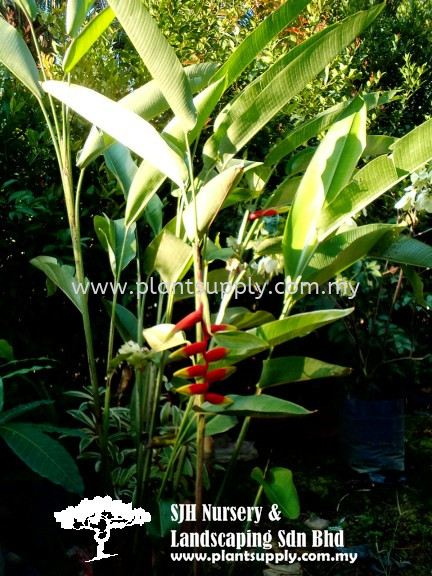 S040402 Heliconia Rostrata (Fishtail Heliconia) Shrubs Malaysia, Johor, Muar Supplier, Wholesaler, Supply, Supplies | SJH Nursery & Landscaping Sdn Bhd