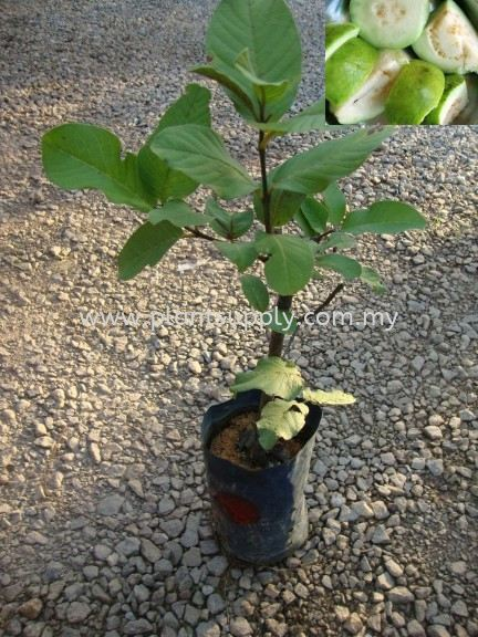 F010204 Guava Seedling Fruit Seedlings Malaysia, Johor, Muar Supplier, Wholesaler, Supply, Supplies | SJH Nursery & Landscaping Sdn Bhd