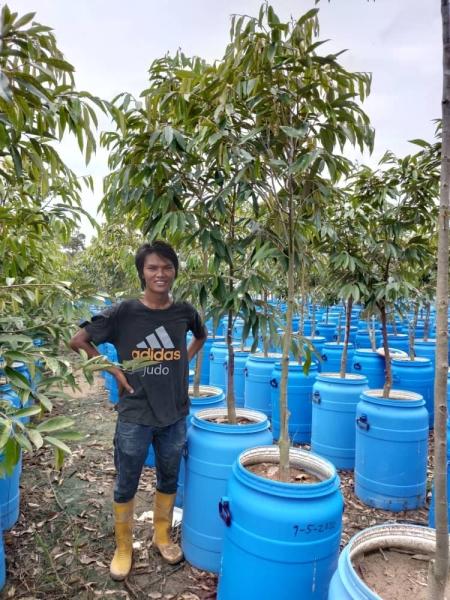 BLACK DURIAN YOUNG DURIAN PLANT (NURSERY) Malaysia, Negeri Sembilan, Lenggeng Supplier, Suppliers, Supply, Supplies | SIN BAN LEE FARM